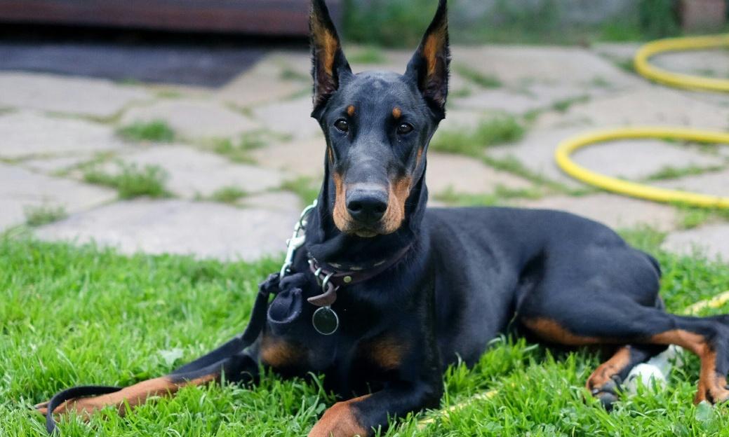 Собака-доберман-фото.jpg