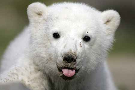 Cutest animals in the world - Polar bears
