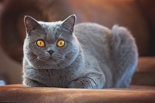British Shorthair cute cat breed