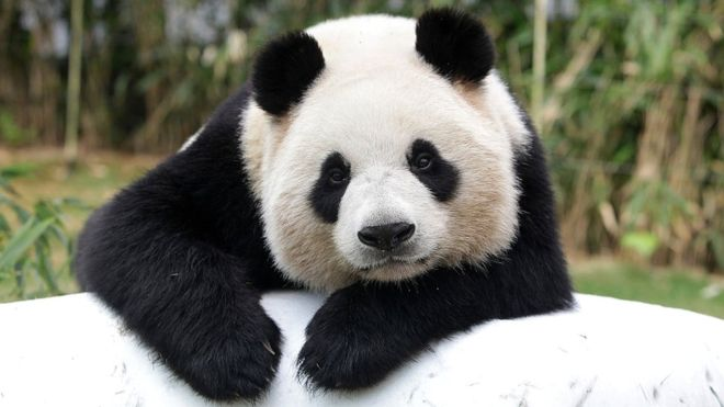 Giant panda - cutest animals in the world
