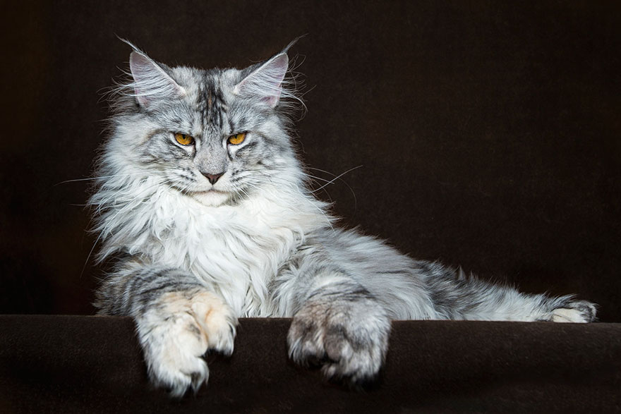 Maine Coon cute cat breed