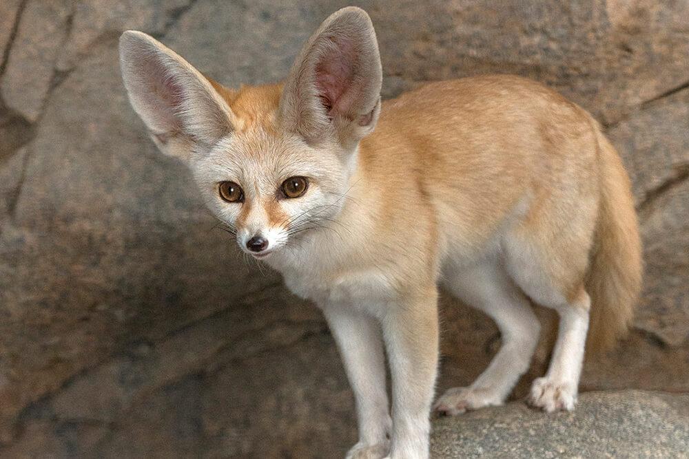 Fennec Fox - cutest animals in the world