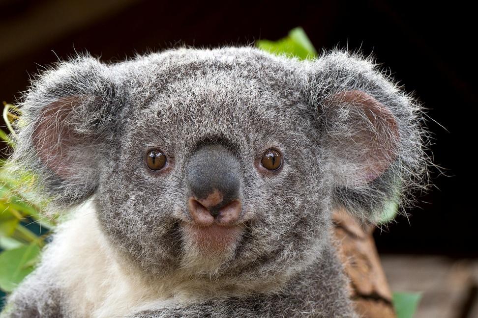 Koalas - world's cutest animals