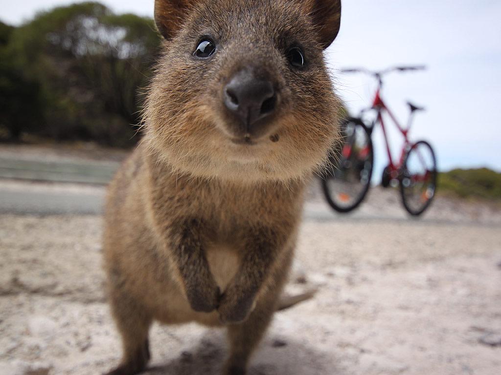 Quokka - cutest animals in the world