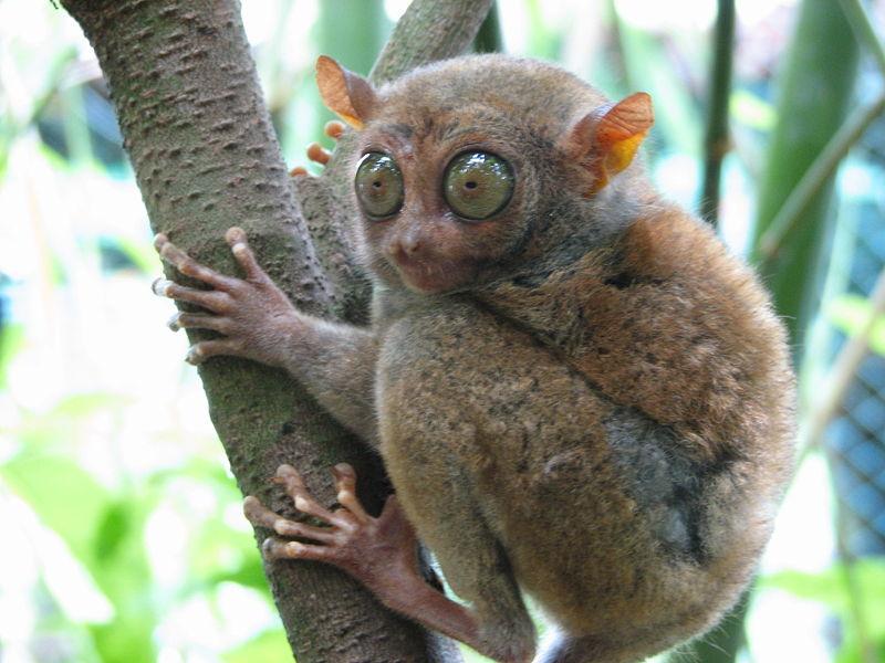 Philippine Tarsier - cutest animals in the world