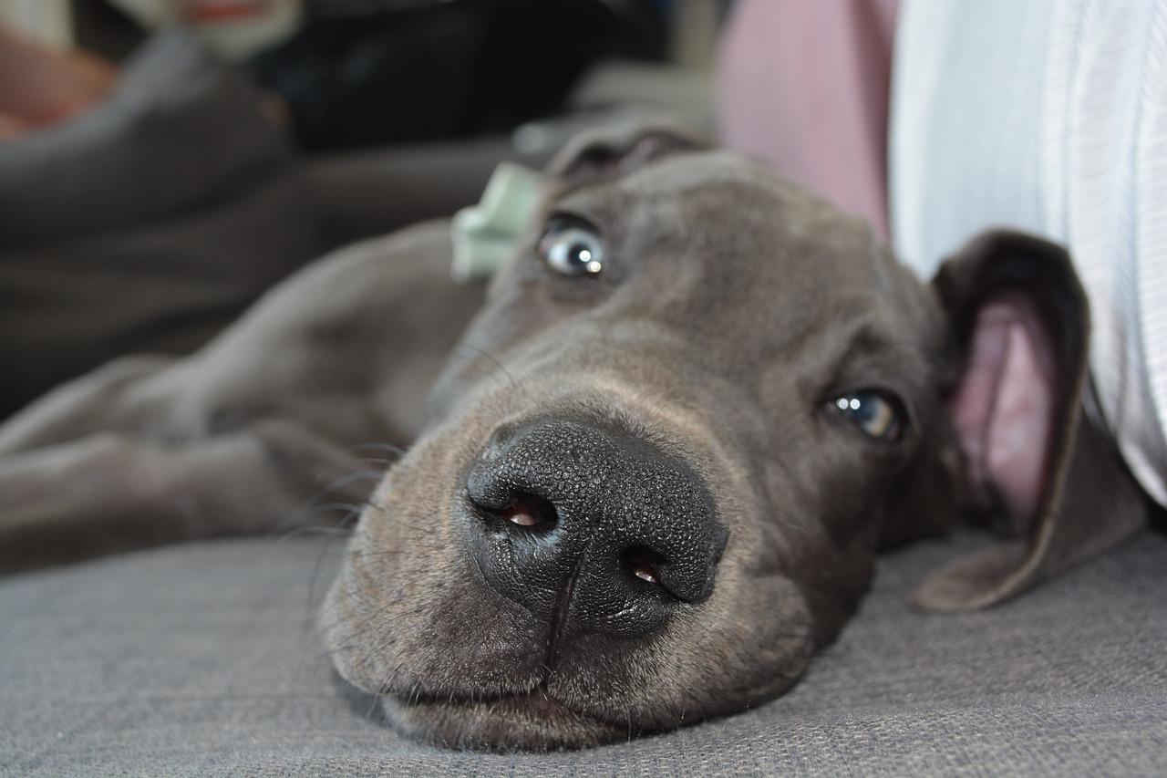 Best Big Lazy Dog Breed